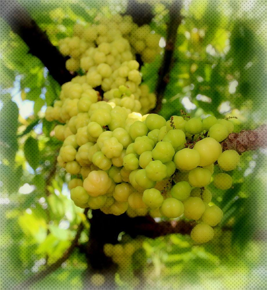 Local wild fruit (taste sour) by fragranceumlee