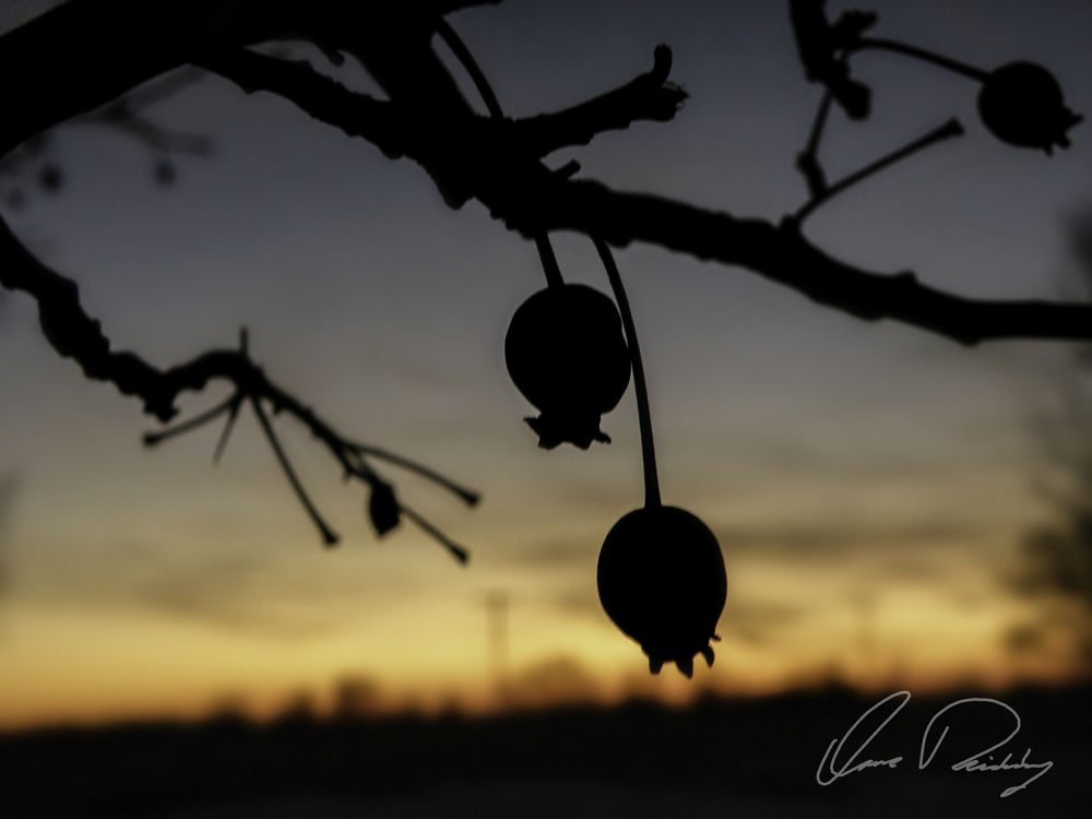 Photo in Macro #fruit #fruits #fruitful #berry #berries #tree #trees #branch #branches #sun set #sunset #sun setting #silhouette #horizon #country #country setting #macro