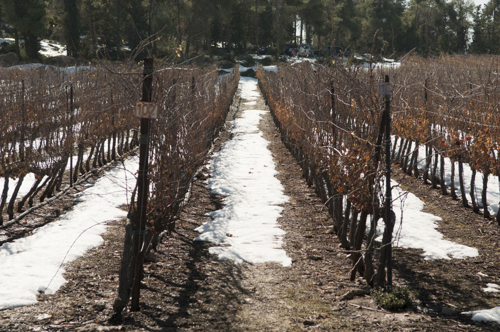 Snowy Vineyard by carolekarmona