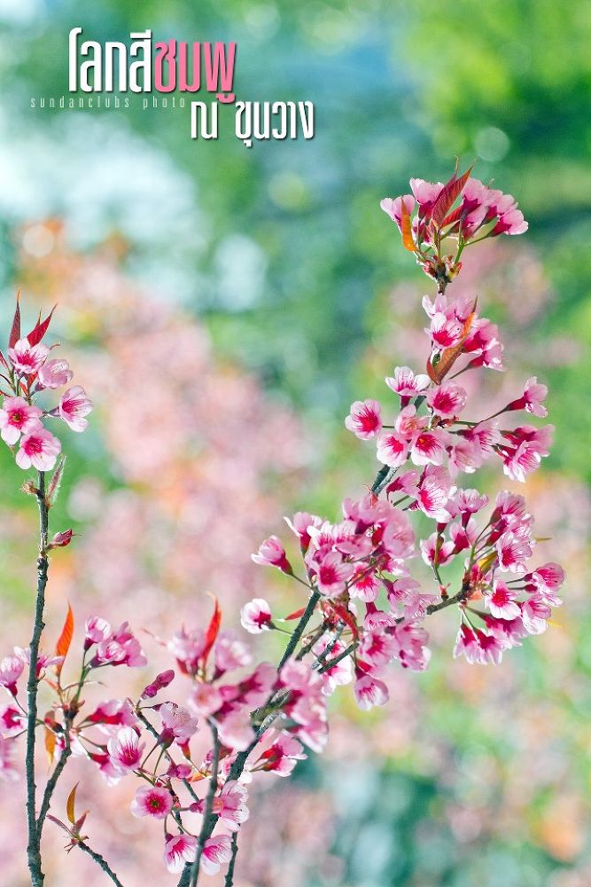Sakura_Thailand by Akarapong Chanthornpidok