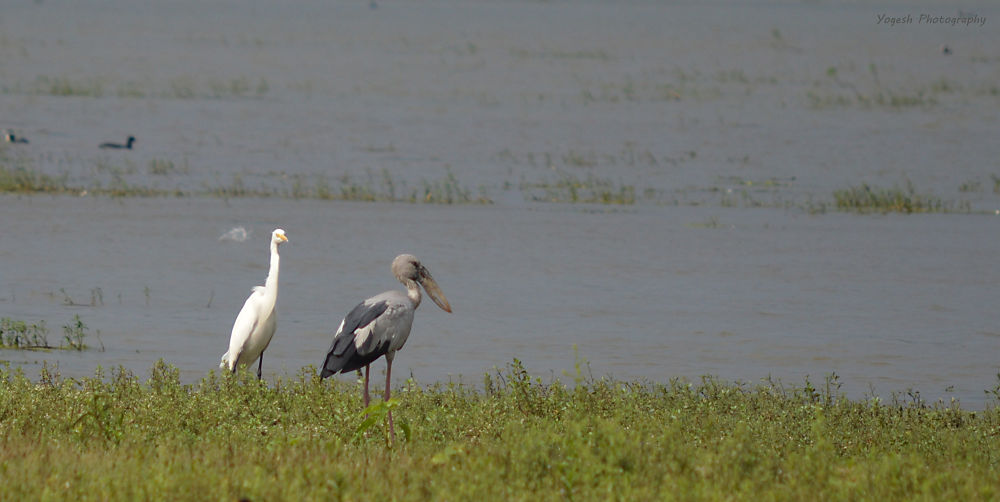 Egret and Asian Openbill by NikYog