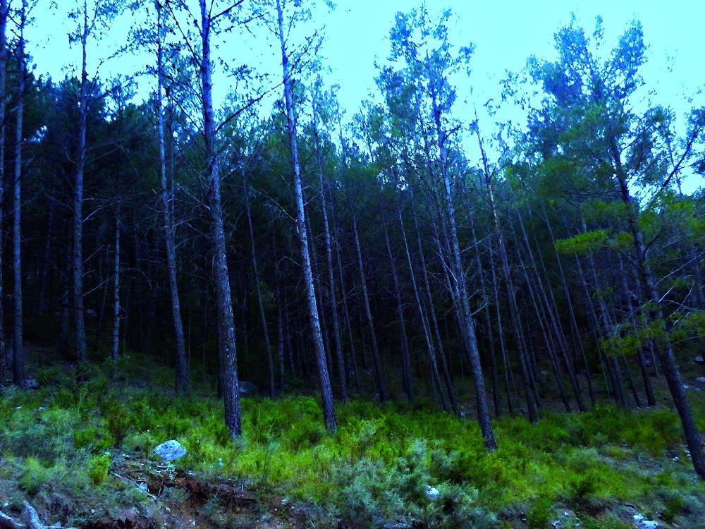 los pinos  by javiercolominalopez