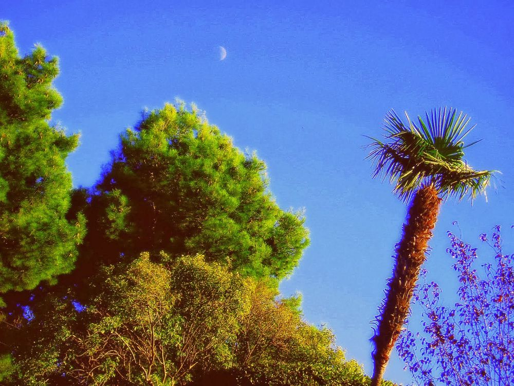 palmera mazorca by javiercolominalopez