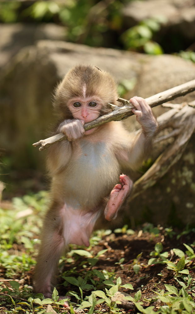 Baby monkey  by liminhao