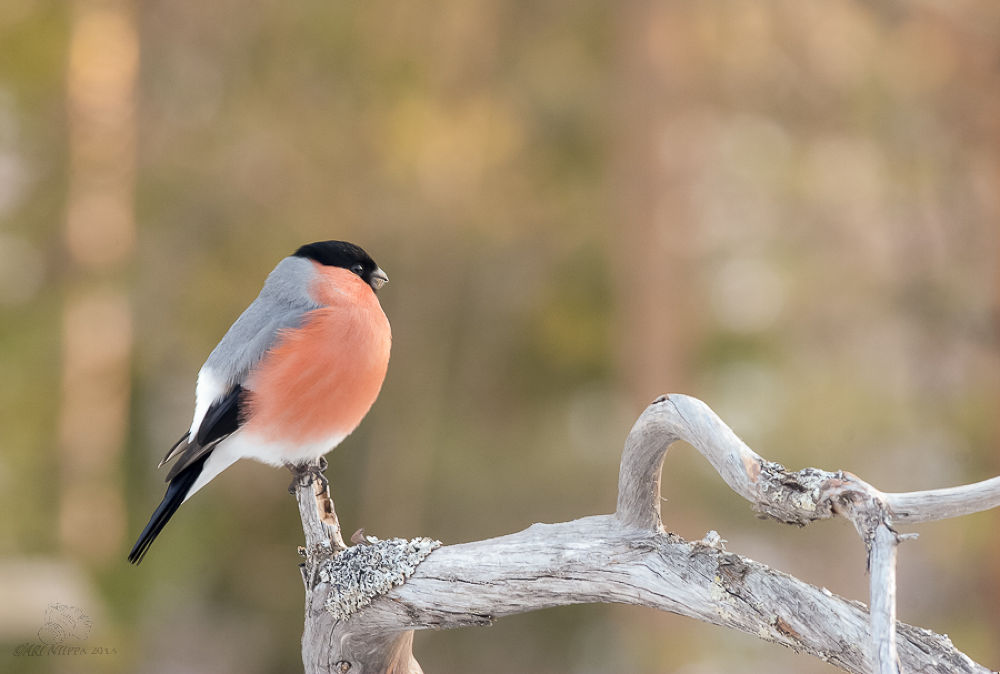Photo in Animal #bullfinch #lapland #finland #bird