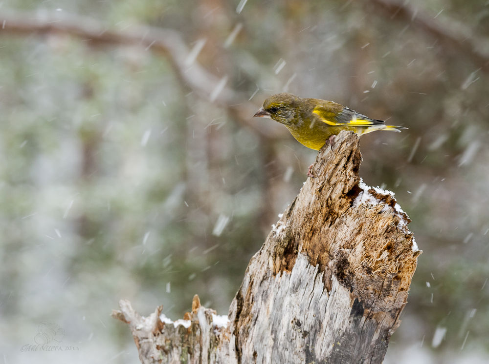 Greenfinch snow in Lapland Finland by Ari Niippa