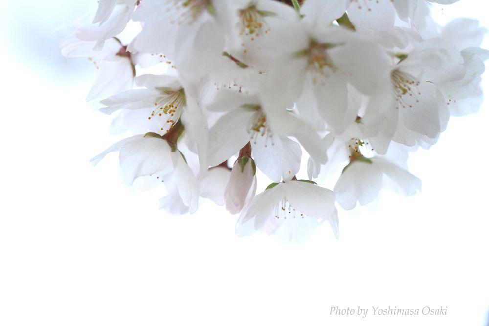 Sakura by Yoshimasa Osaki