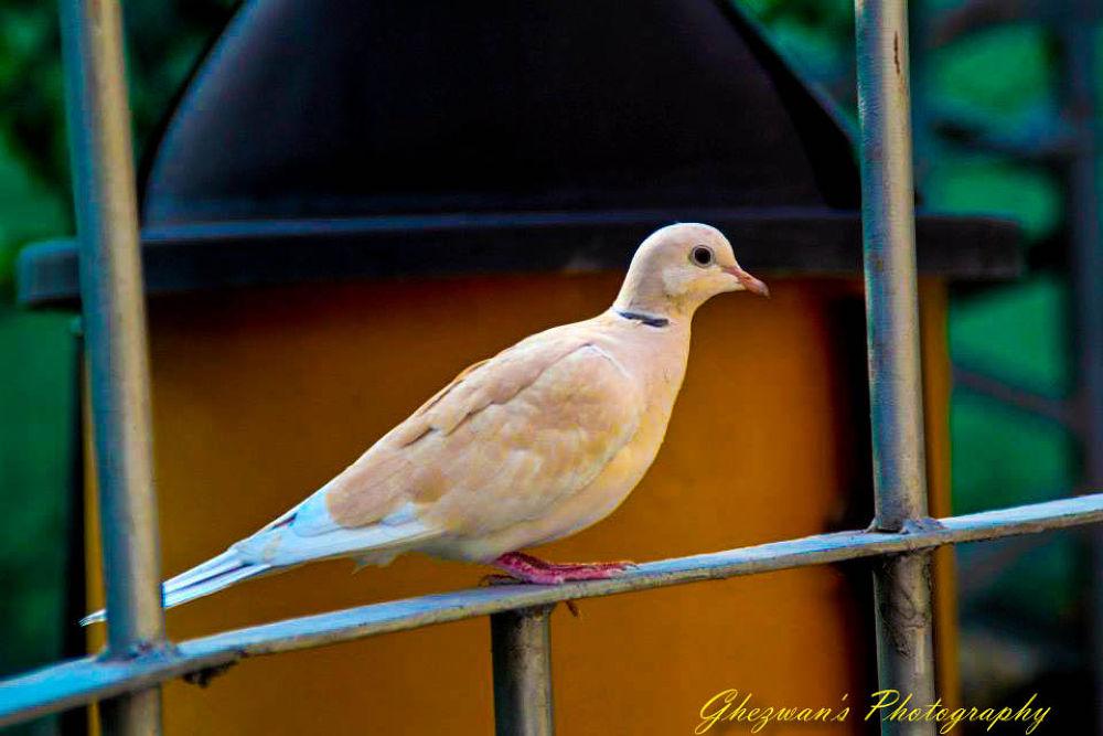 Dove by ghezwanshamshad