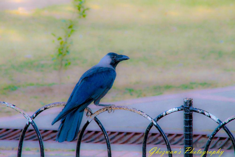 Lonely Crow by ghezwanshamshad