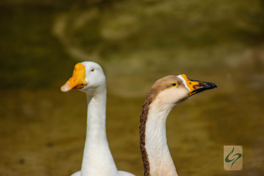 Duck Heads by ghezwanshamshad