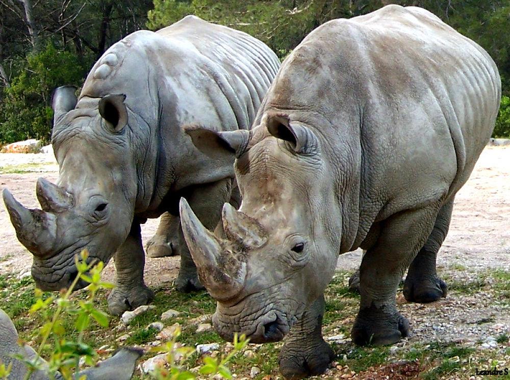rhinocéros by leandre