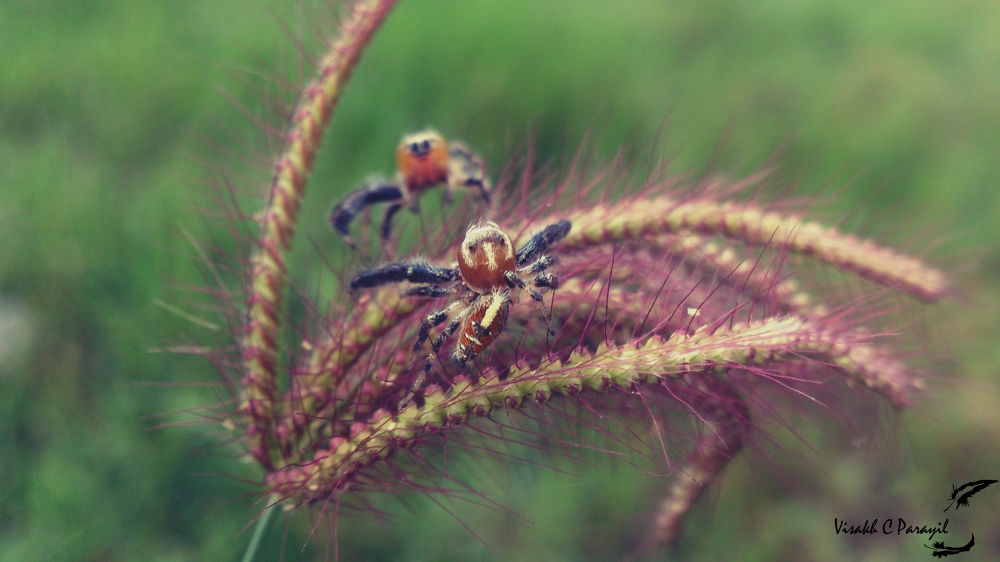 Spider Photobombing !! Siper at the Back :)  by Visakh C Parayil