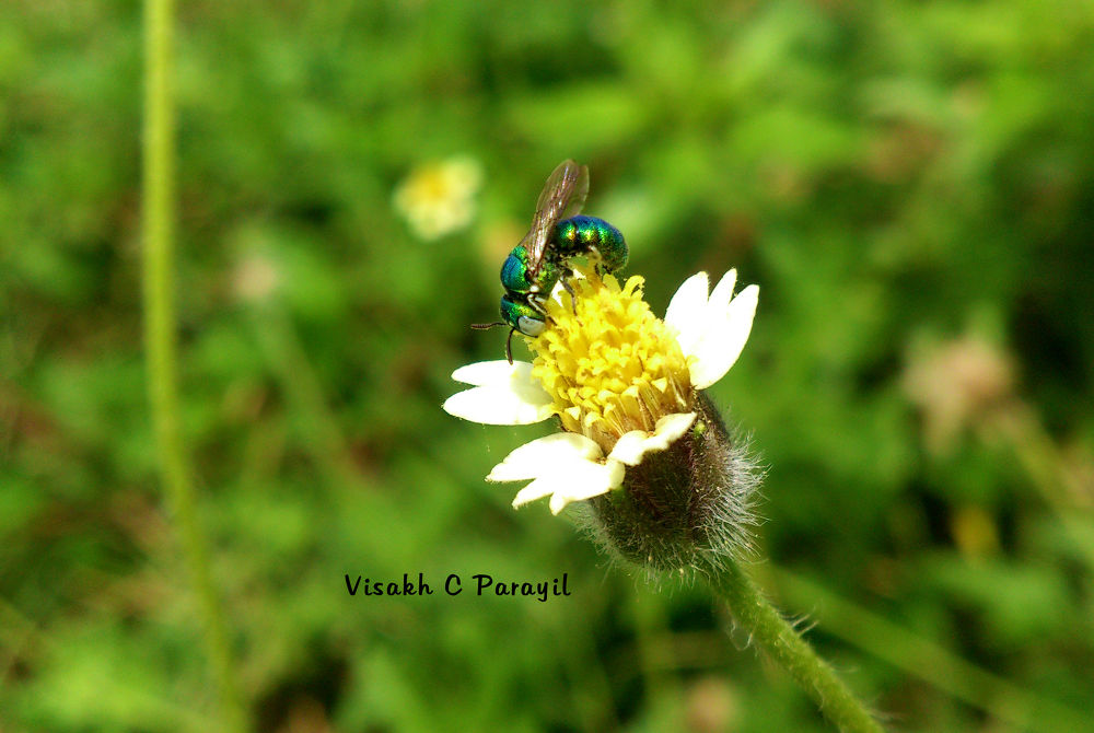 Metallic Green Wasp !! :)  by Visakh C Parayil