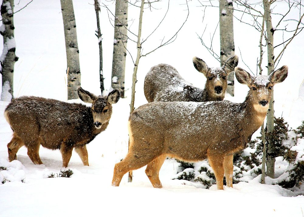 Winter Deer by Rosalie Visions Photography