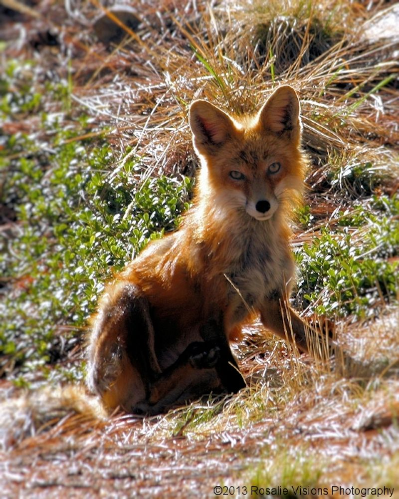 Foxy Lady by Rosalie Visions Photography