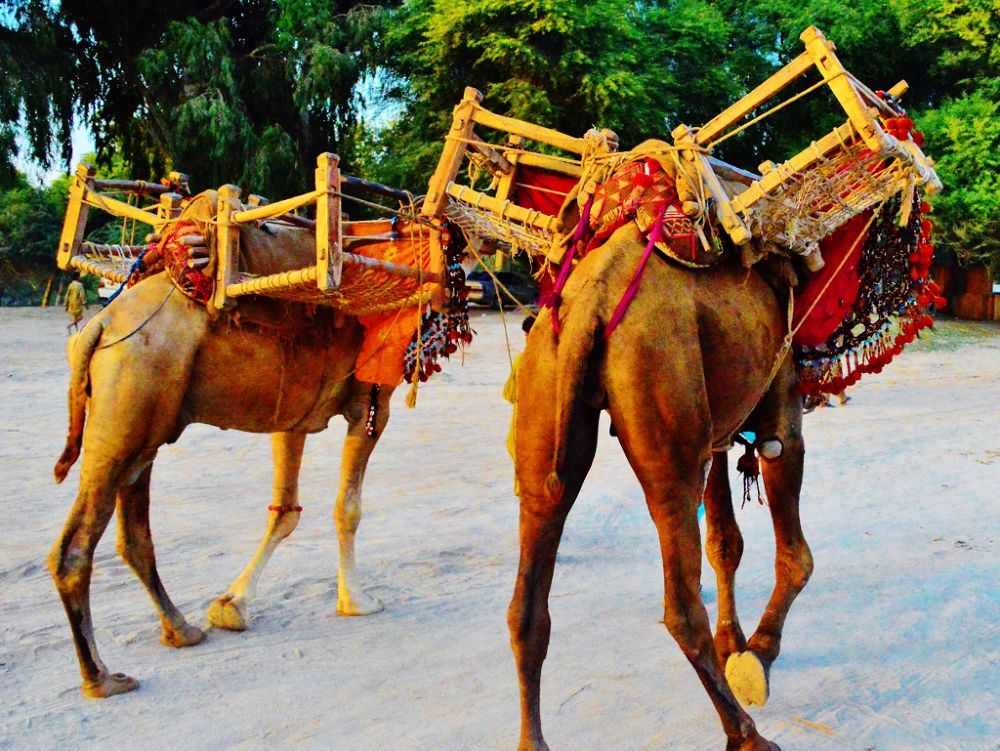 camels... by Jawad Ghazanfar Naru