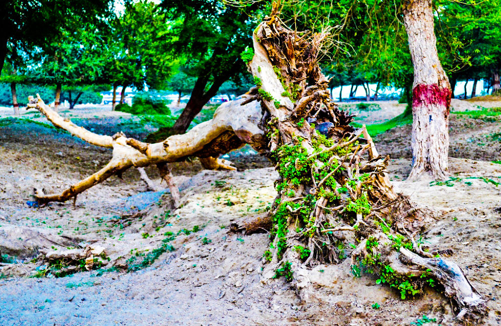 re-growing after flood by Jawad Ghazanfar Naru