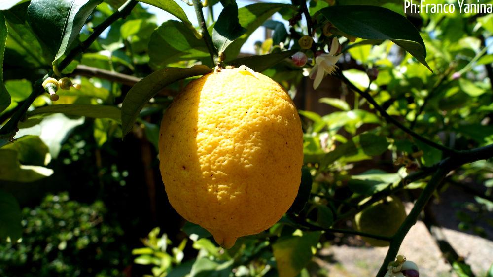Lemon by Franco Yanina Photography