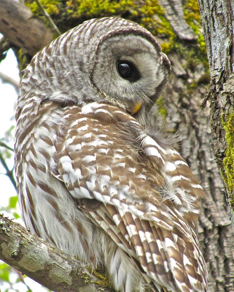 Barred Owl by SandyR