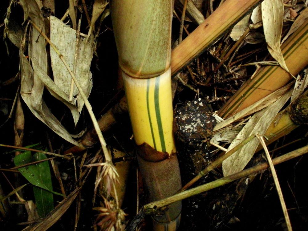 The Yellow Bamboo by putrasetyawan942