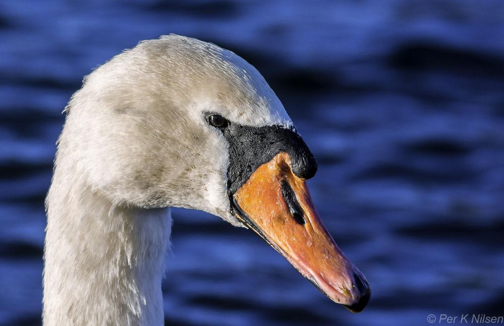 Mute Swan by Per Nilsen