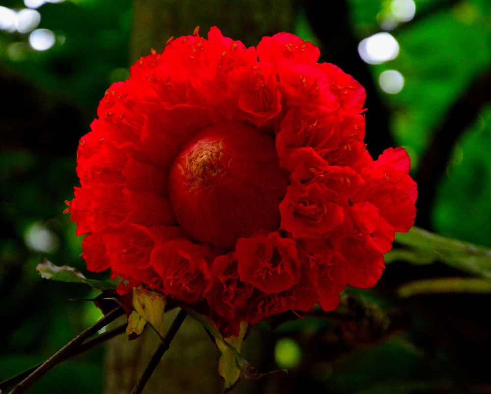 Red Beauty by RajeshwarPuvvada
