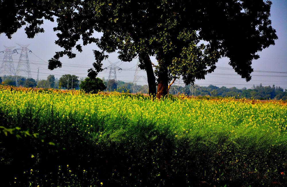 The Tree in fields by RajeshwarPuvvada