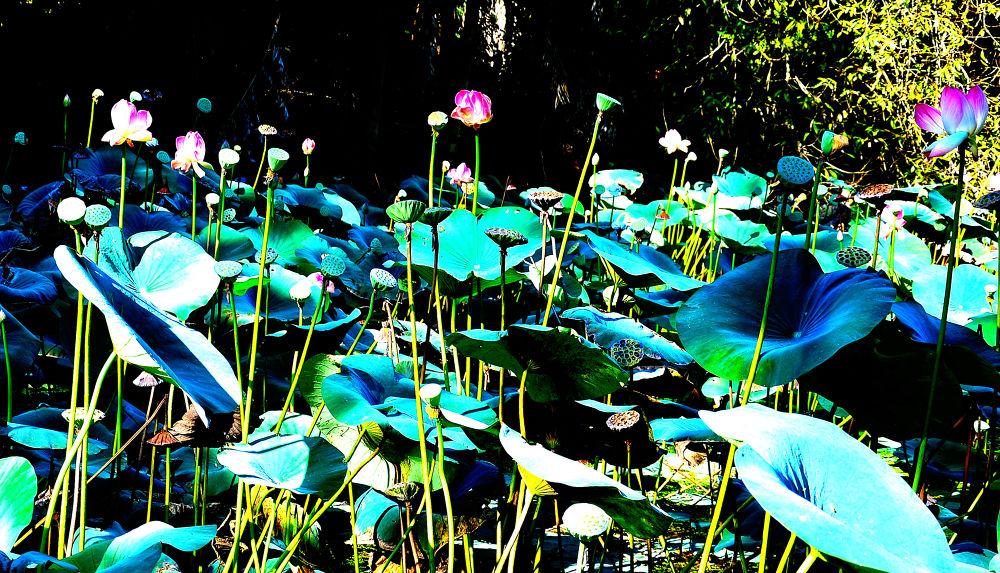 Lotus Pond by RajeshwarPuvvada