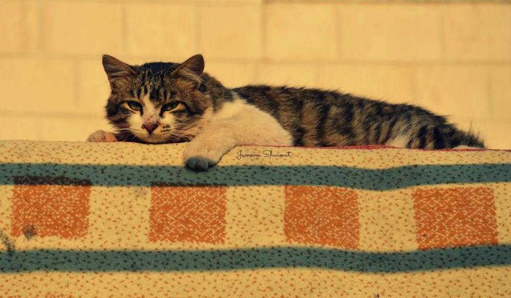 sleepy cat  by JumanaShwimat