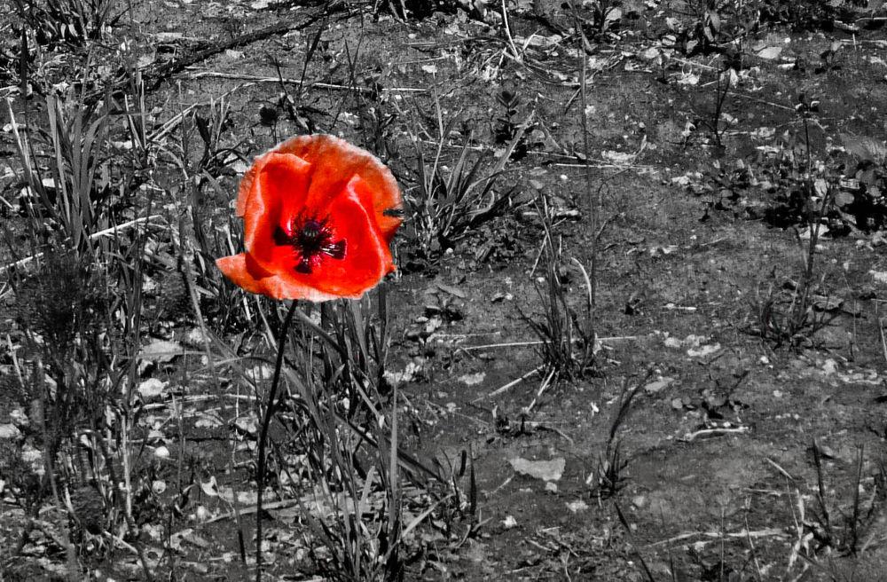 poppy by Adina C.