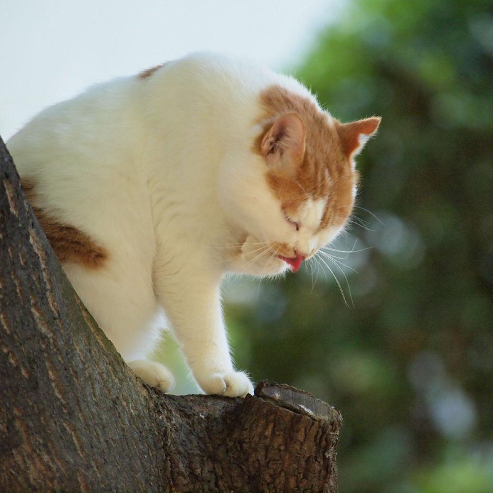 Japanese cat - chaco by Yoshiko Komatsu