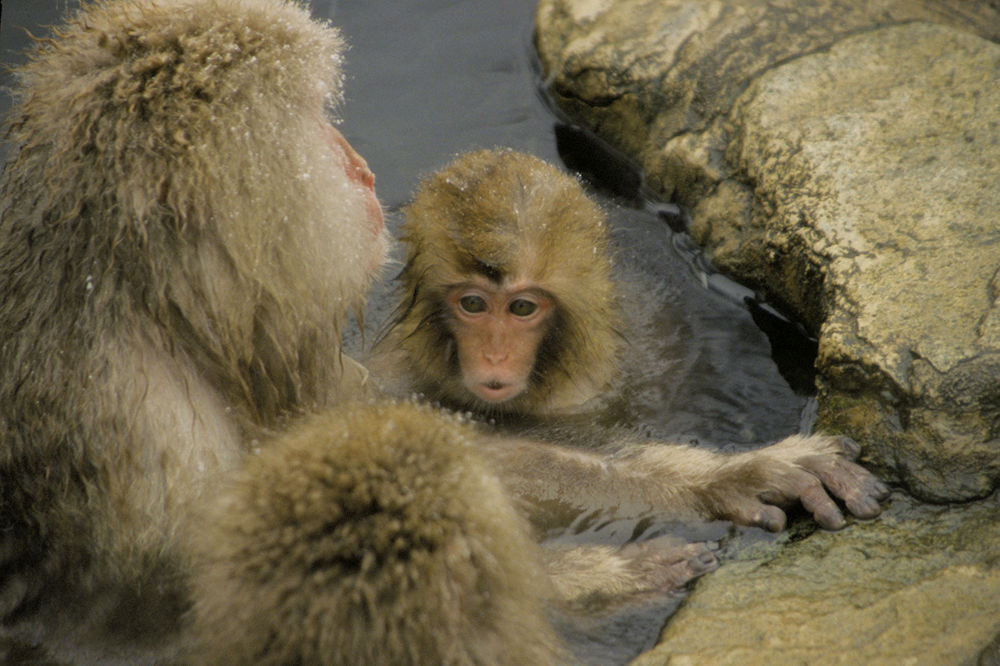 Snow monkeys by Yoshiko Komatsu
