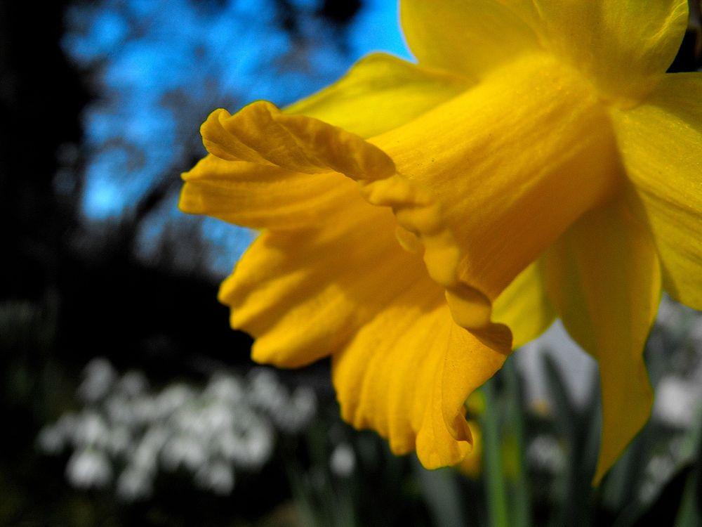 daffodil by alityrrell3