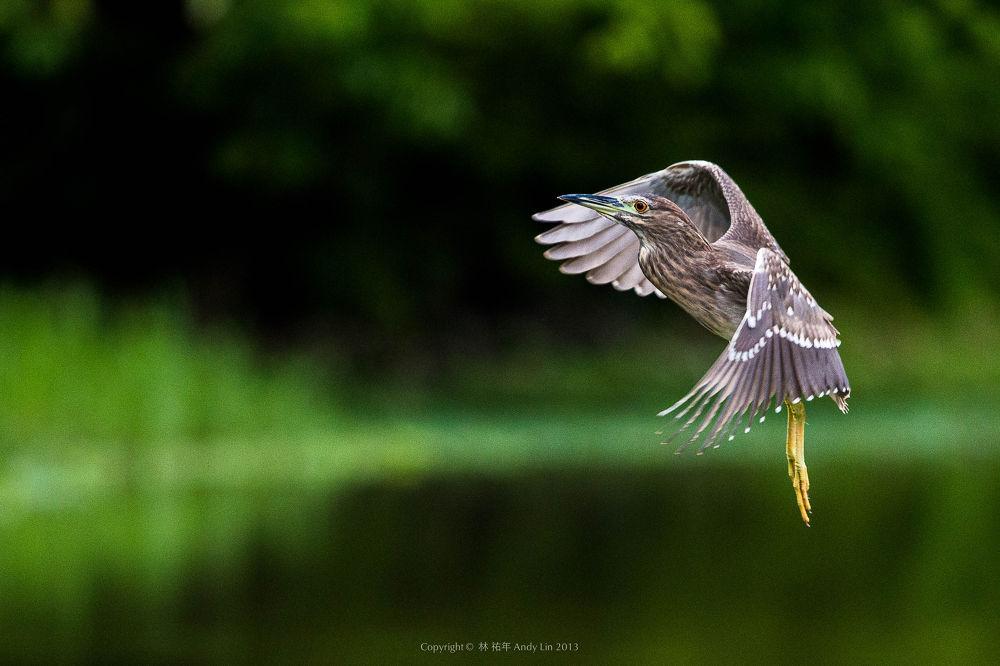 夜鷺 by andy5338
