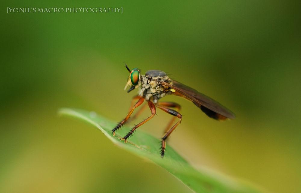 Robberfly..... by yoniearliandisetiyawan