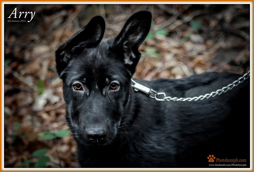 Photo in Random #dog #dogs #photogumph #animals #pet #pet photography #pets #german shepherd #paws