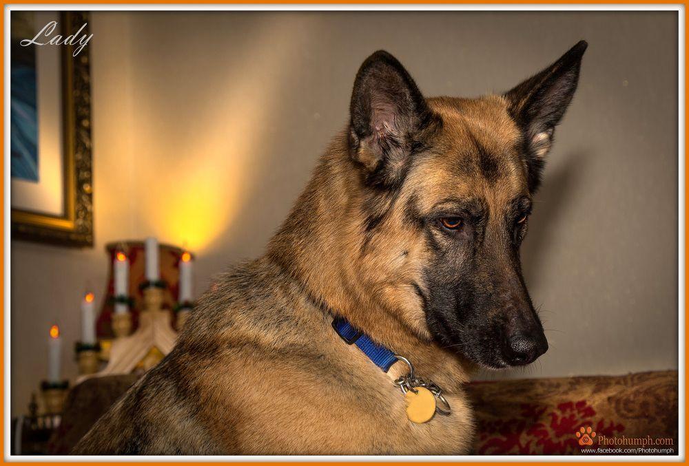 Photo in Portrait #dog #photogumph #dogs #animals #pet #pet photography #paws #german shepherd #pets
