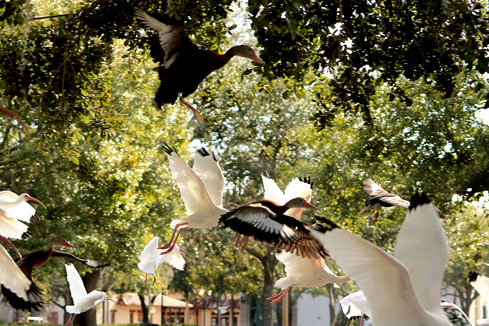 Fly by Quacking by johneyksphotos