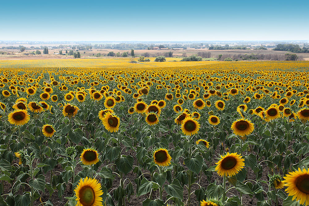 my best flowers sunflowers by Domenico Luciano Photography