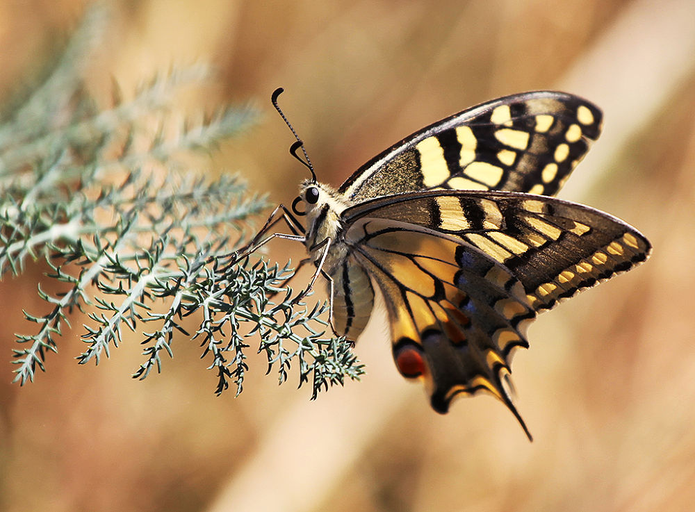 butterfly by Domenico Luciano Photography