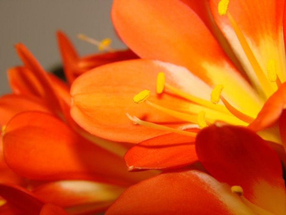 Orange flower by amybudd1