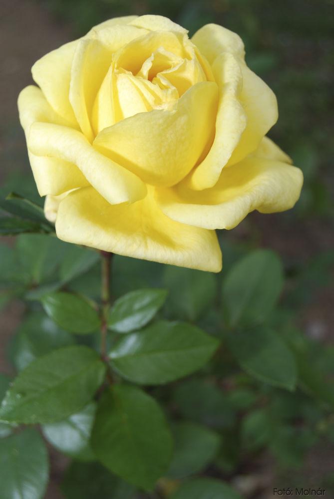 Yellow rose by Alexander Molnár