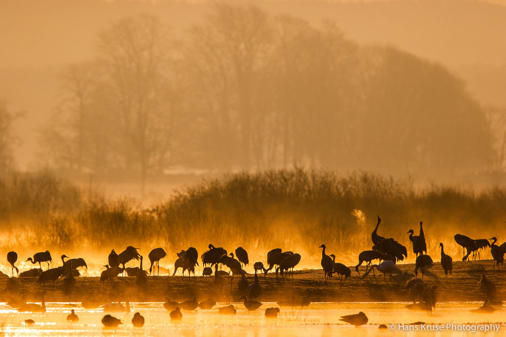 Cranes in morning light by Hans Kruse