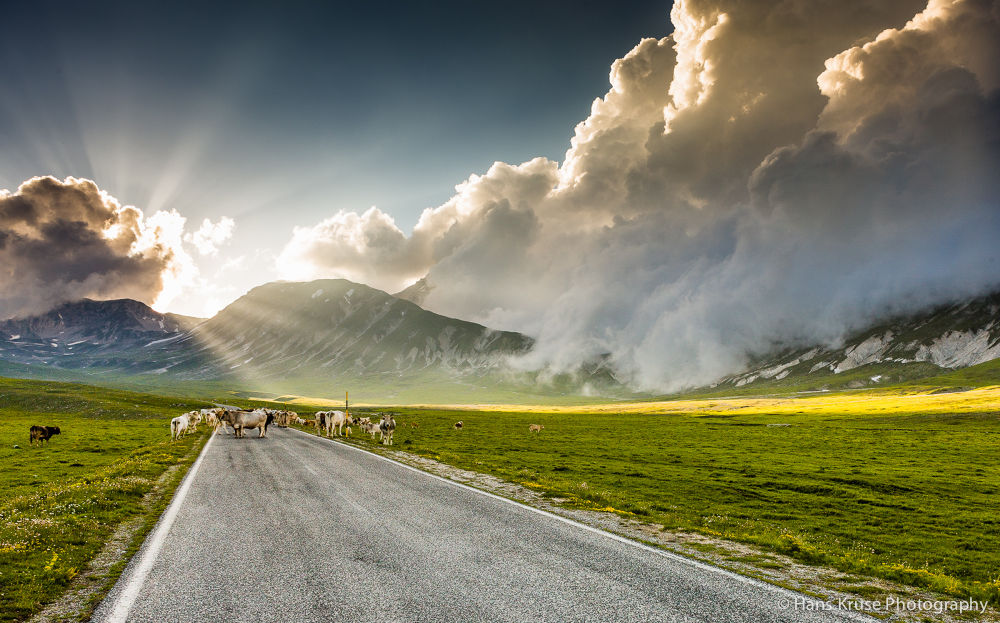 Cows in sunlight by Hans Kruse