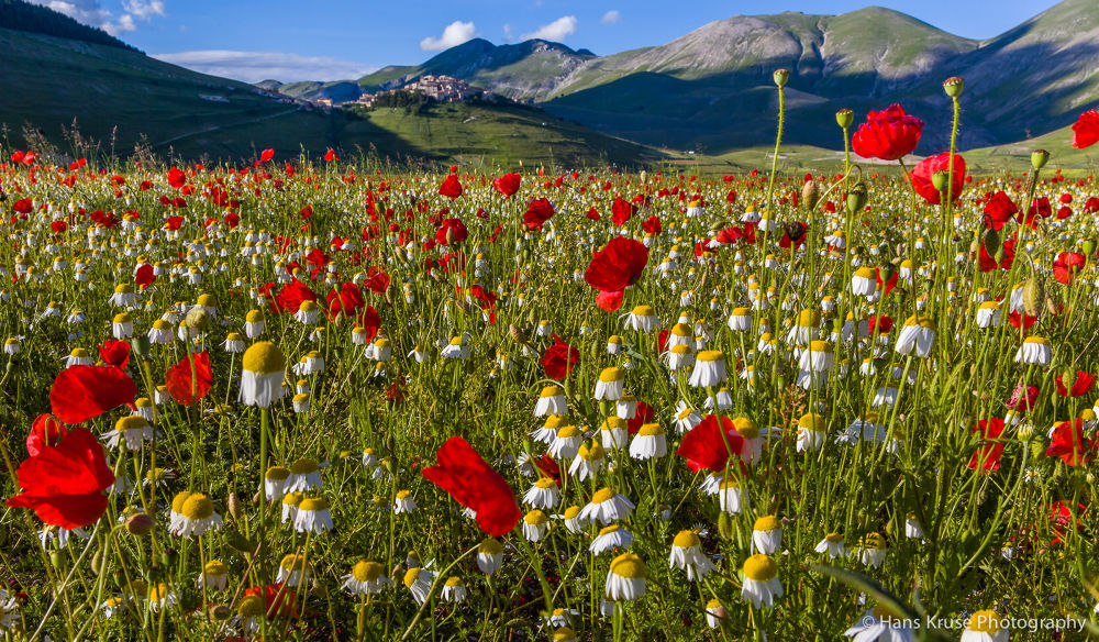 Red poppies at Castelluccio by Hans Kruse