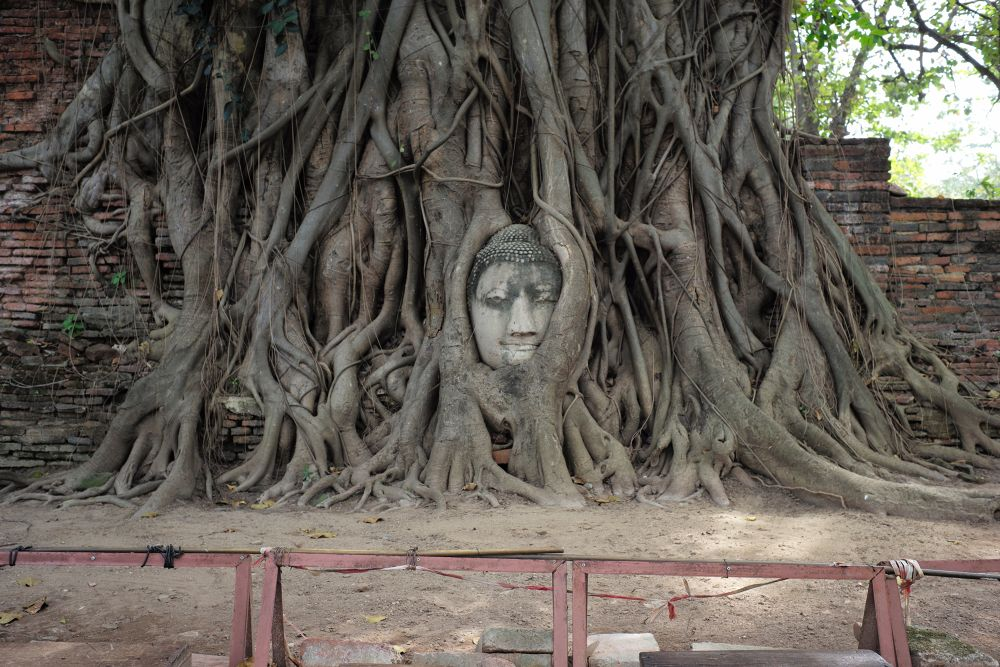 The Buddha in the tree at Wat Maha That, Ayutthaya, Thailand by Leon Liao