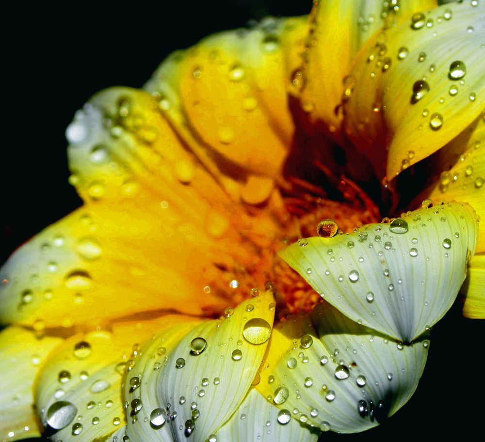 Yellow daisy and drops by Francesca D'Agostino