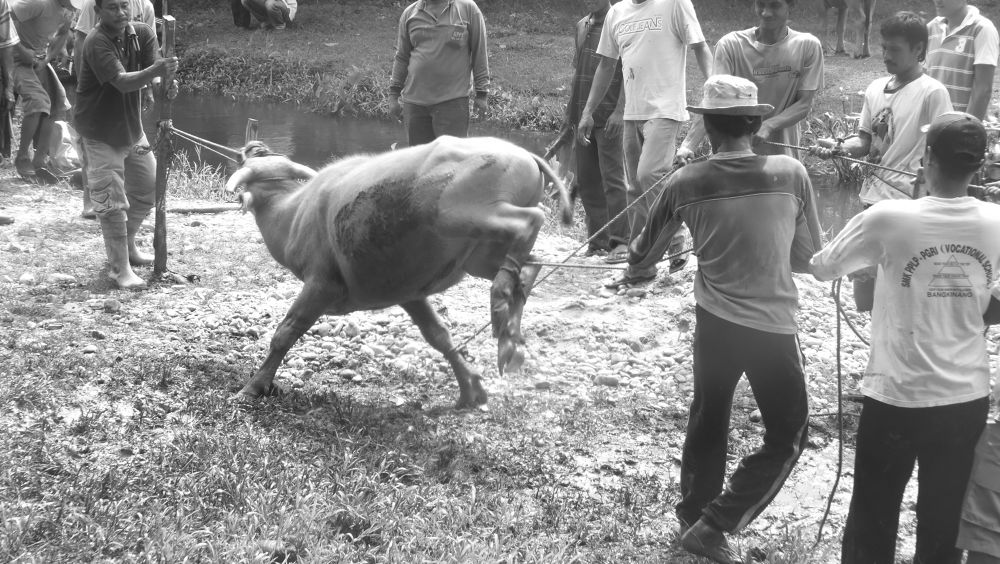 buffalo slaughtering process by hermantomahyuddin