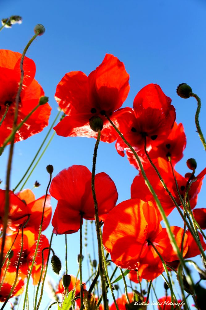 field of poppies... by kristinasoldic