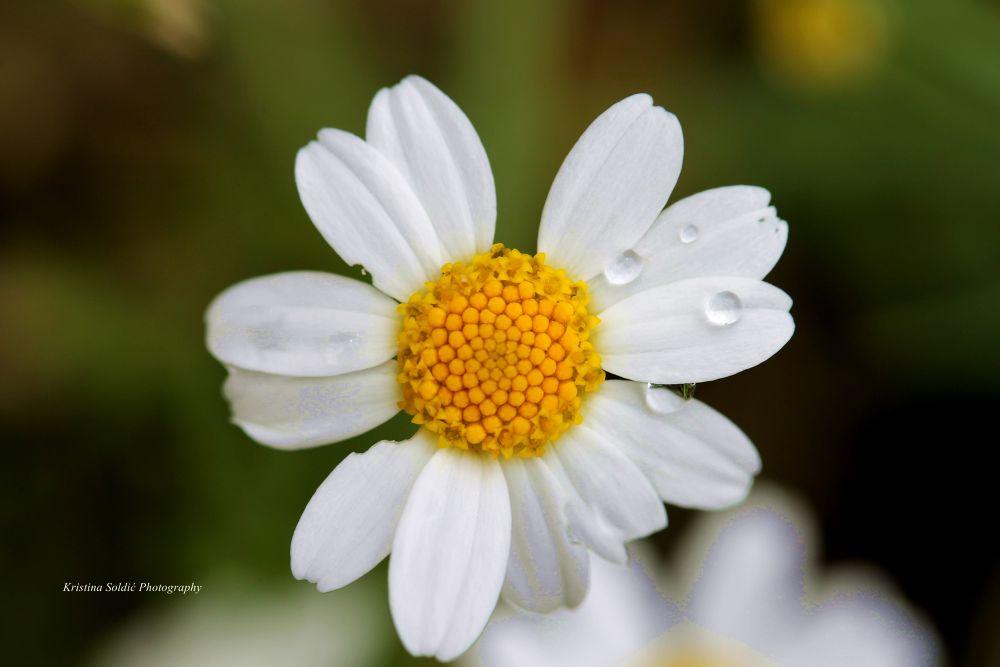 daisy by kristinasoldic